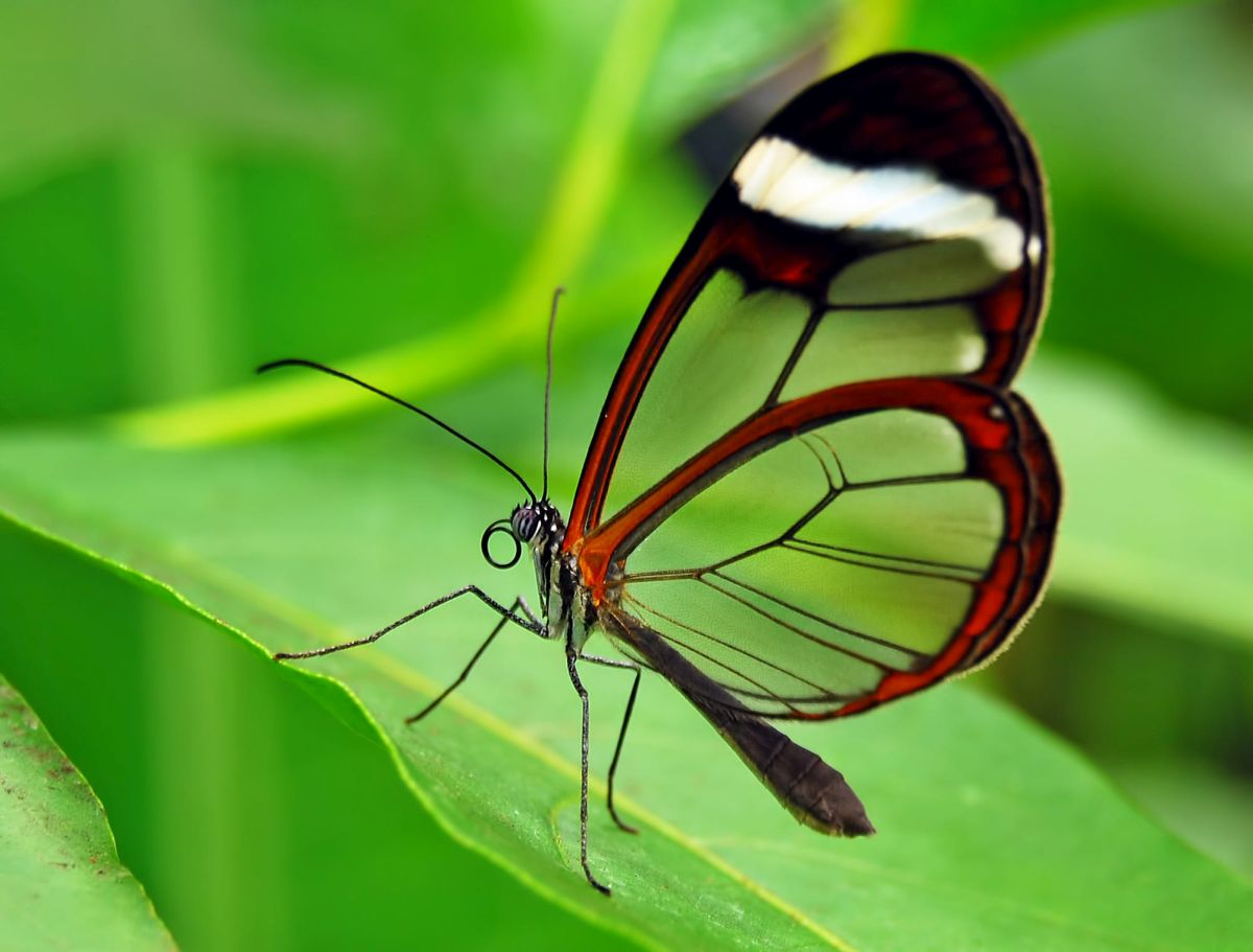 beautiful glass winged butterfly image magda moller