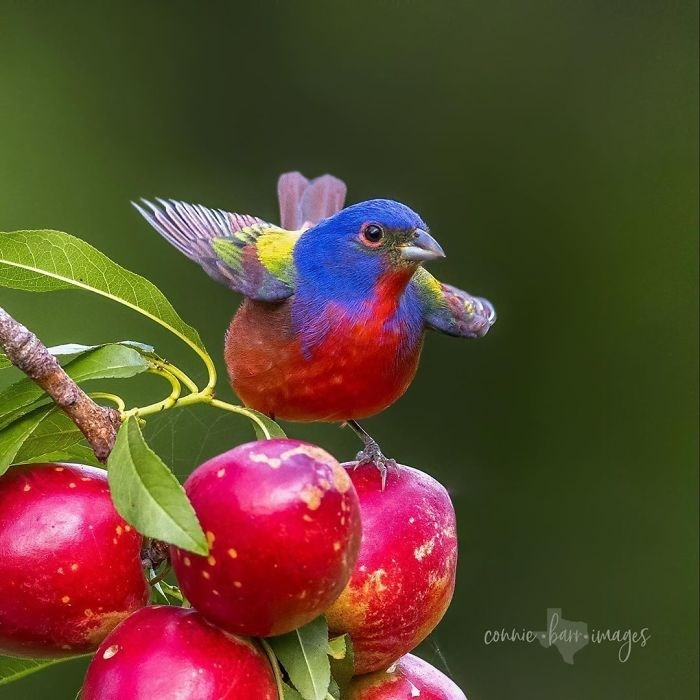 colourful bird picture painted bunting