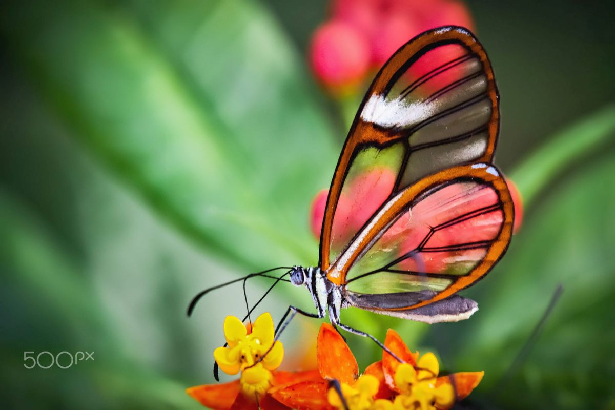 beautiful glass winged butterfly image gerald