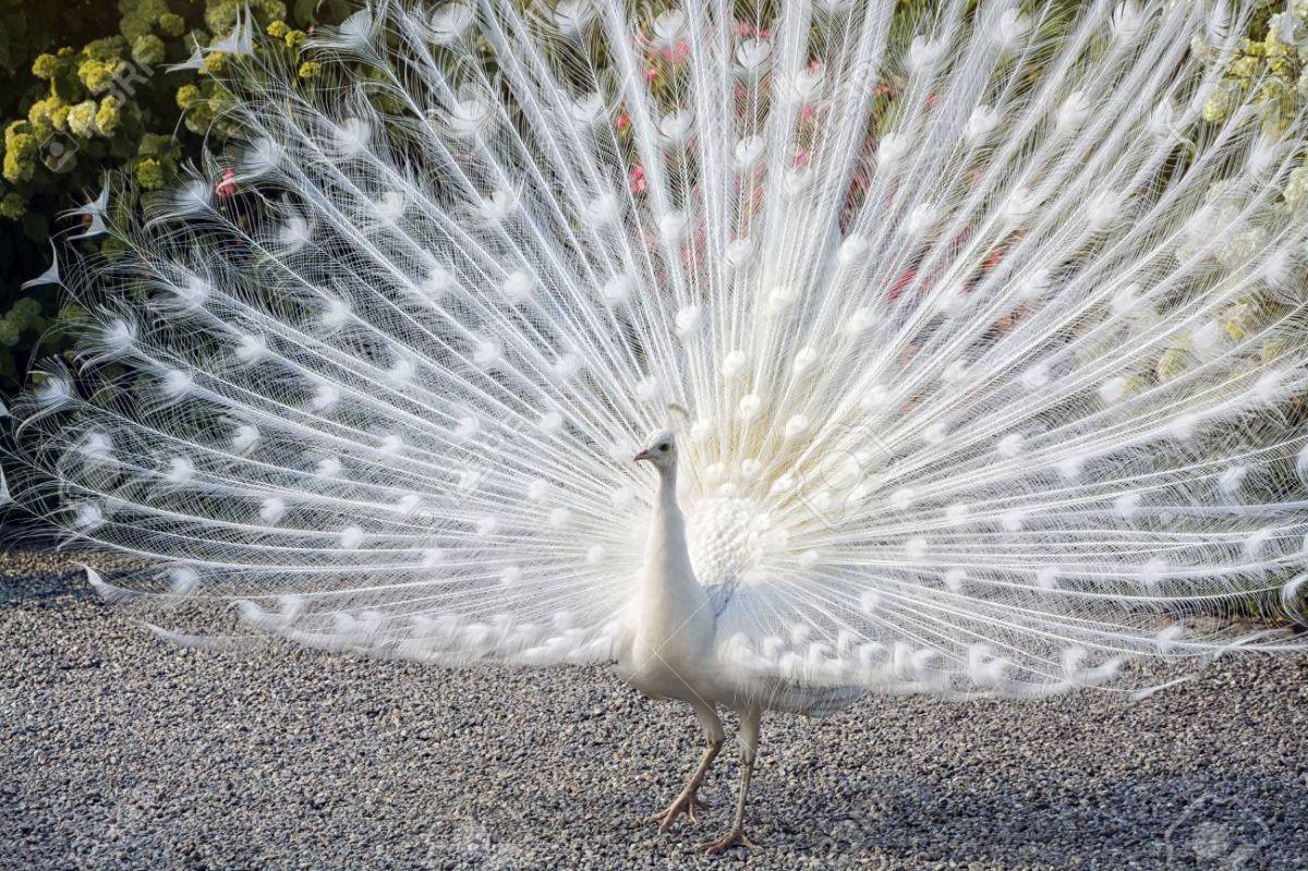 stunning white peacock image