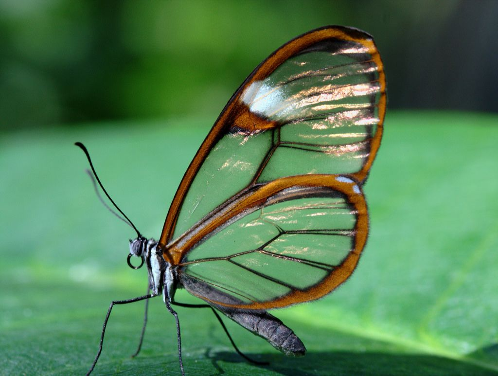 beautiful glass winged butterfly image