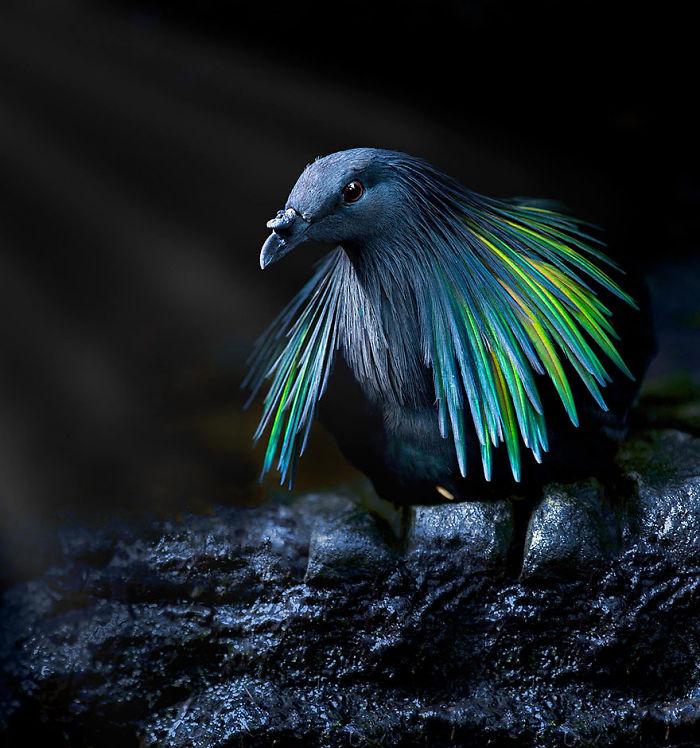 unique bird picture south phillipine nicobar pigeon