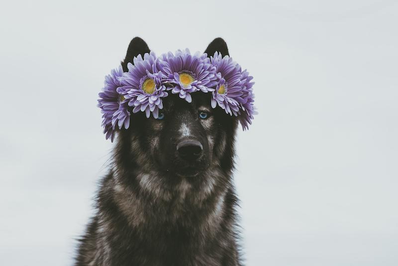 beautiful floral crown dog freyas floral company