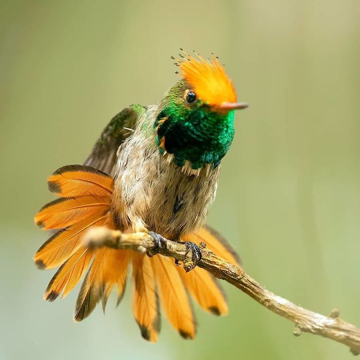 colourful bird picture rufous crested coquette