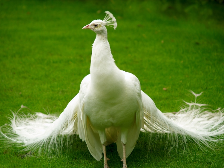 beautiful white peacock photo wouter tolenaars