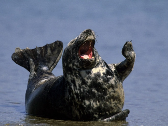 funny laughing seal image