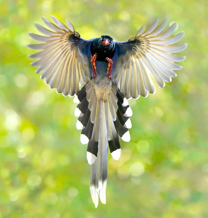 beautiful flying bird picture taiwan blue magpie