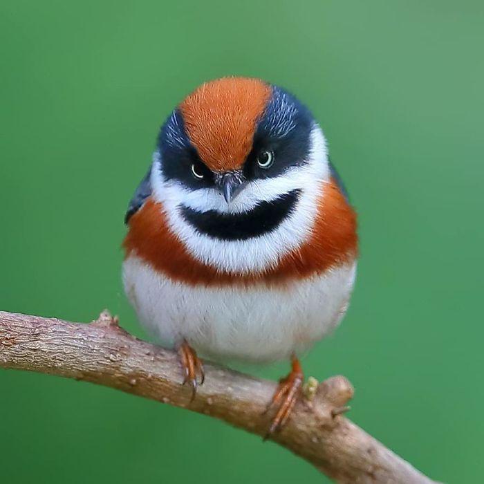 beautiful bird picture black throated bushtit