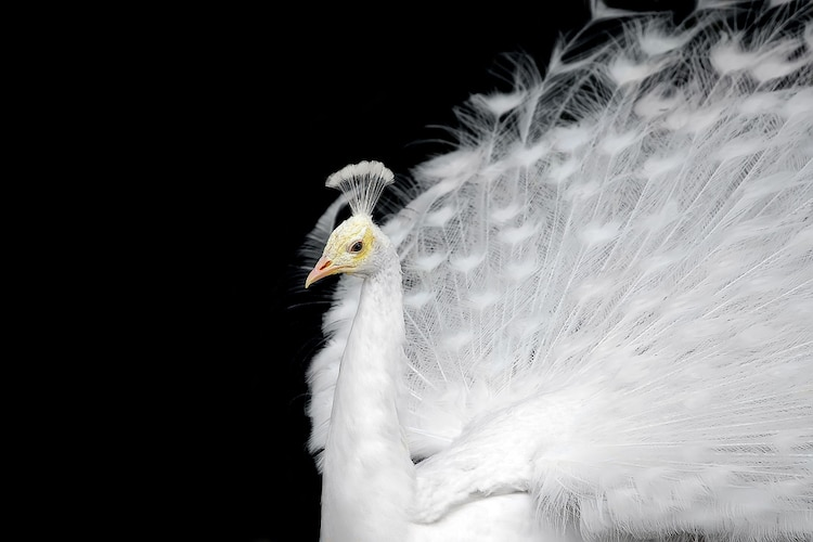beautiful white peacock photo ekaterina lin