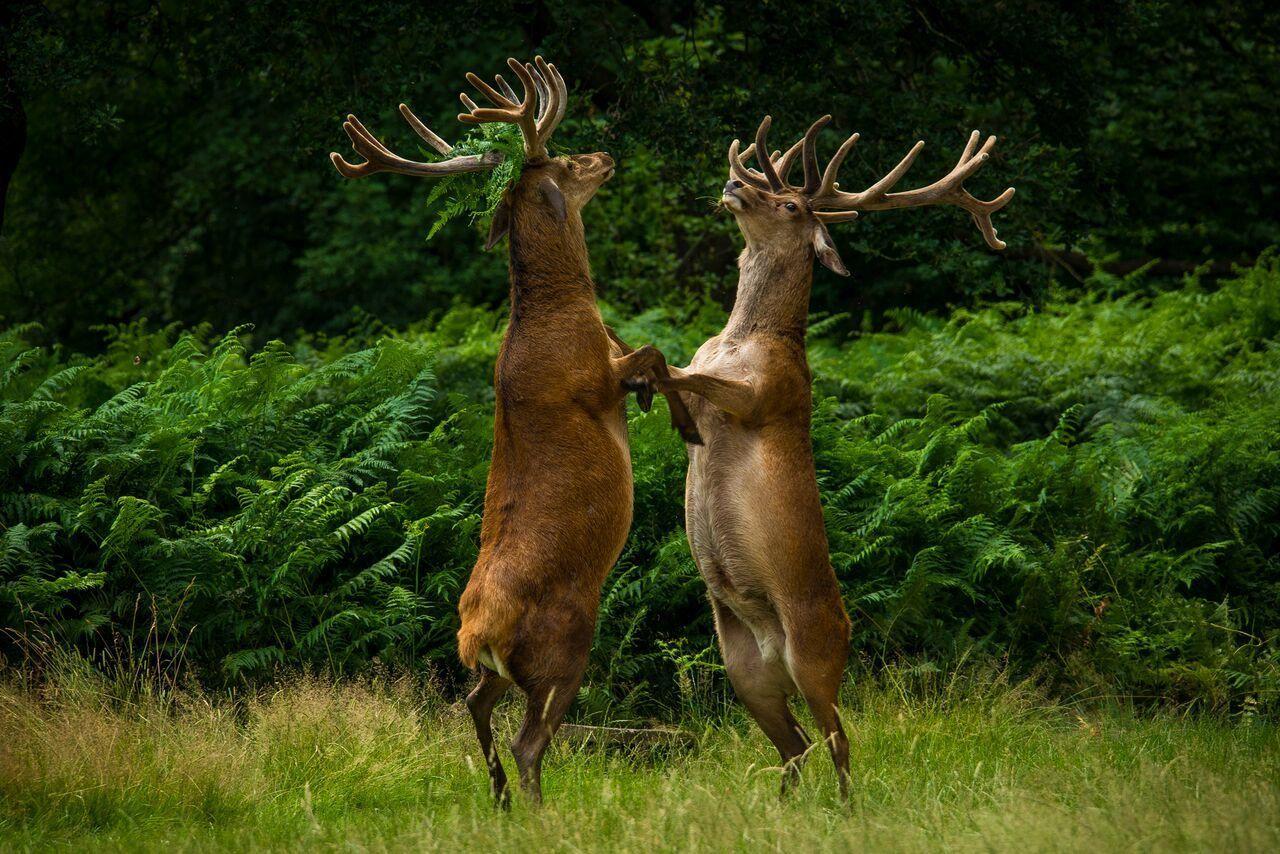 funny wildlife photography deer dance cecilia rodriguez