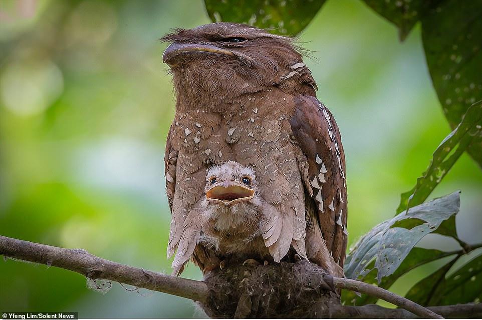 unique bird photo malasian frogmouth