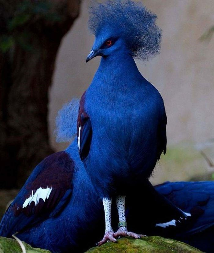 amazing bird picture blue crowned pigeon
