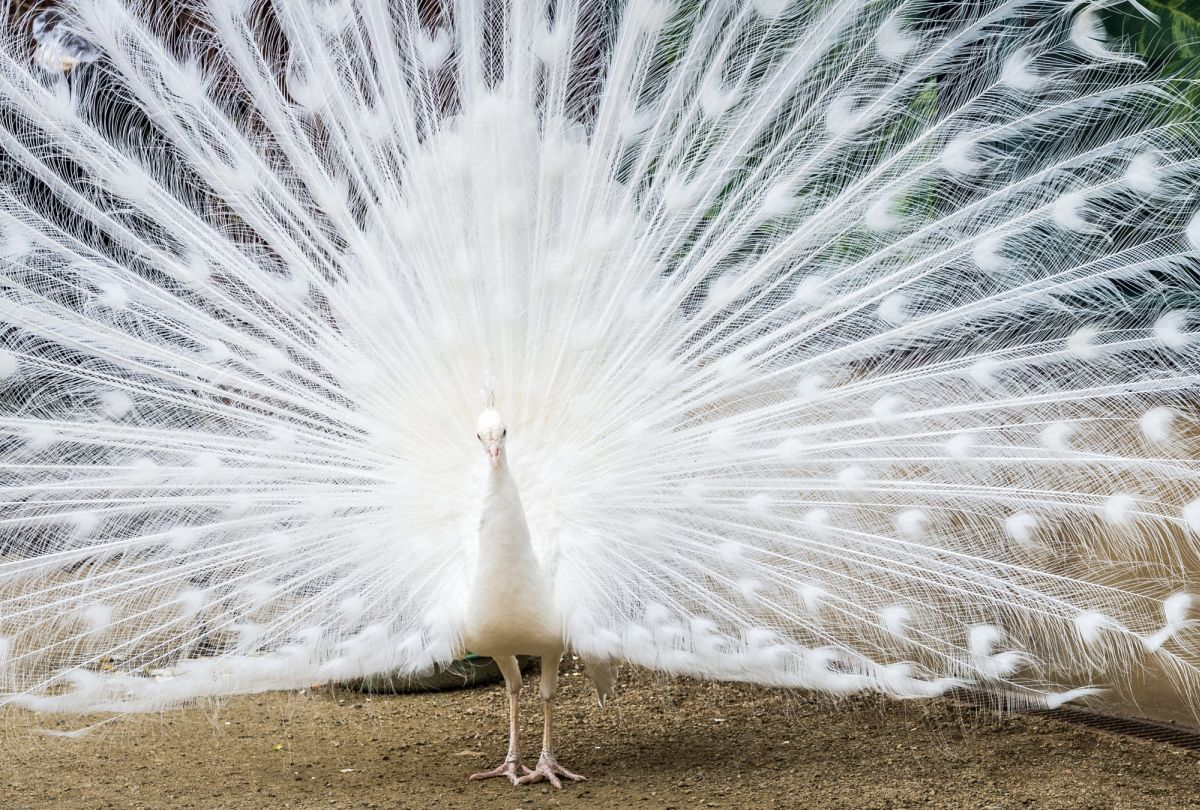 beautiful white peacock image guy lambrechts