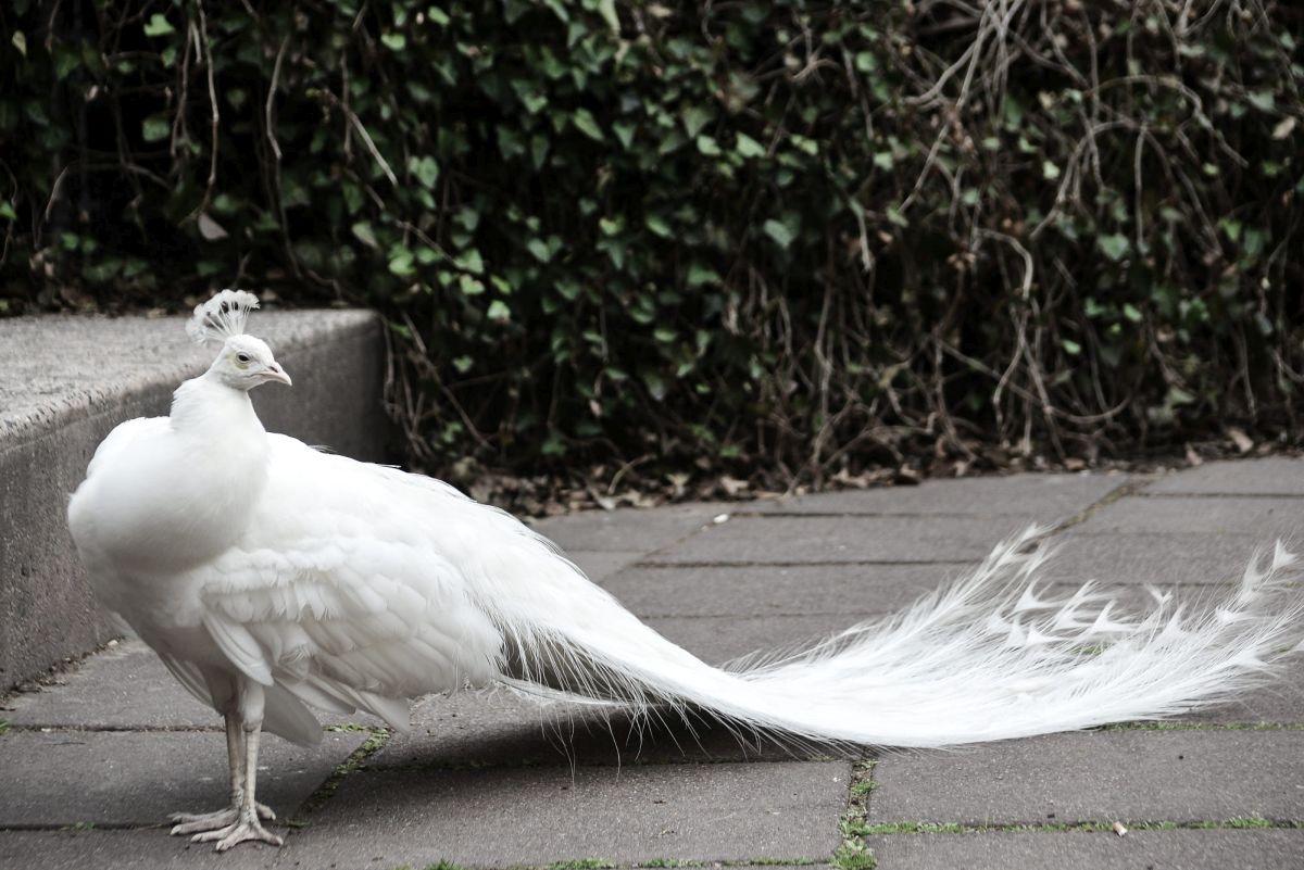 beautiful white peacock photo aurelien cavanna