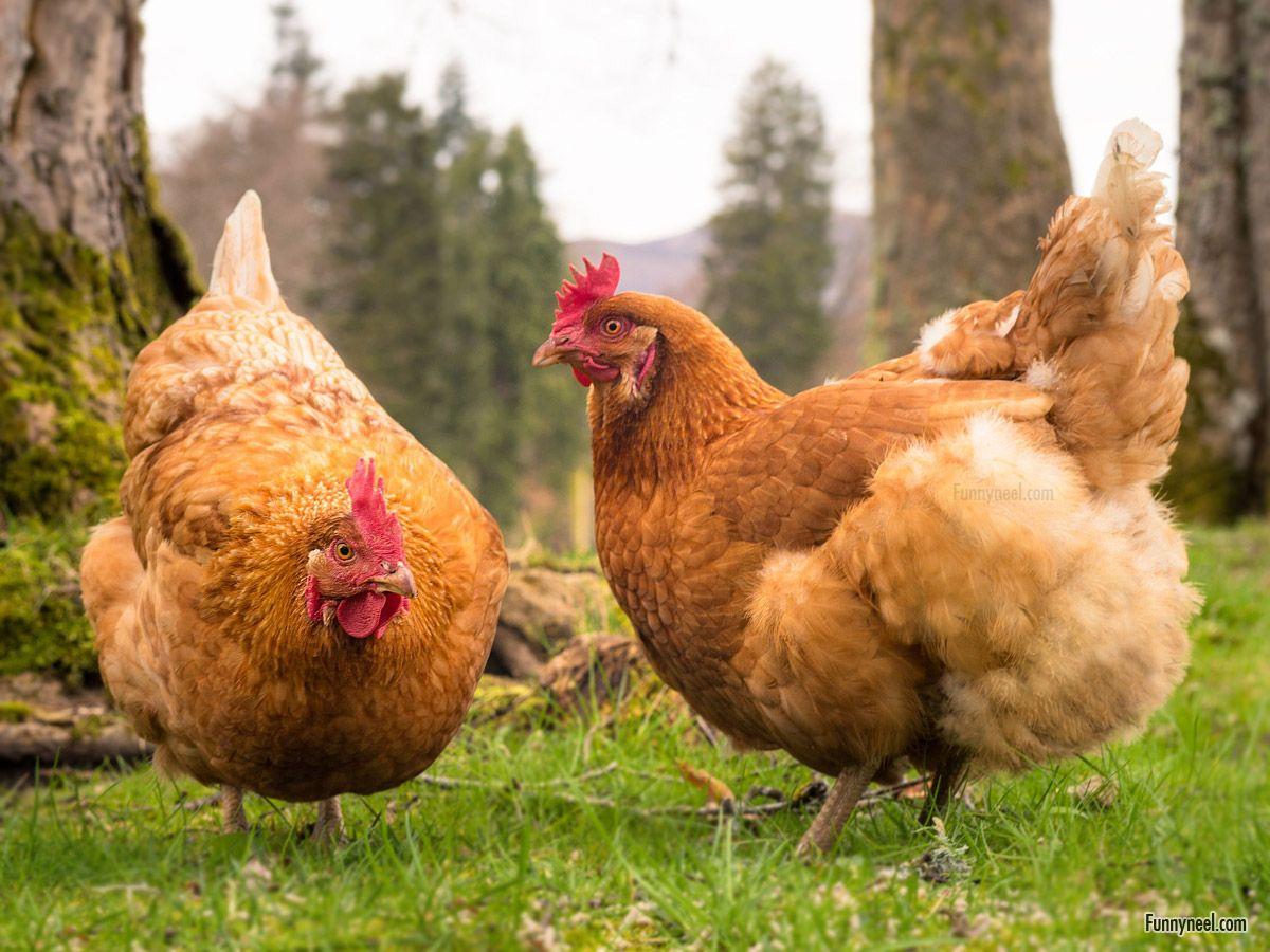beautiful chicken image