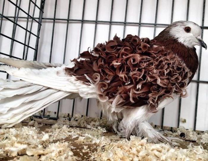 unusual bird image curly perm pigeon