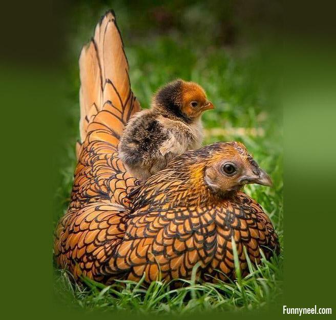beautiful chicken photo