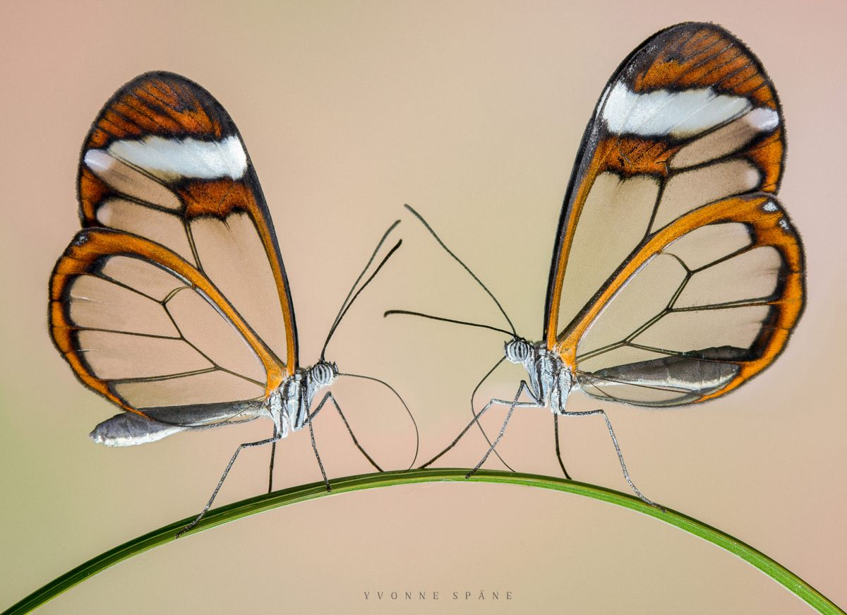 beautiful glass winged butterfly image yvonne spane