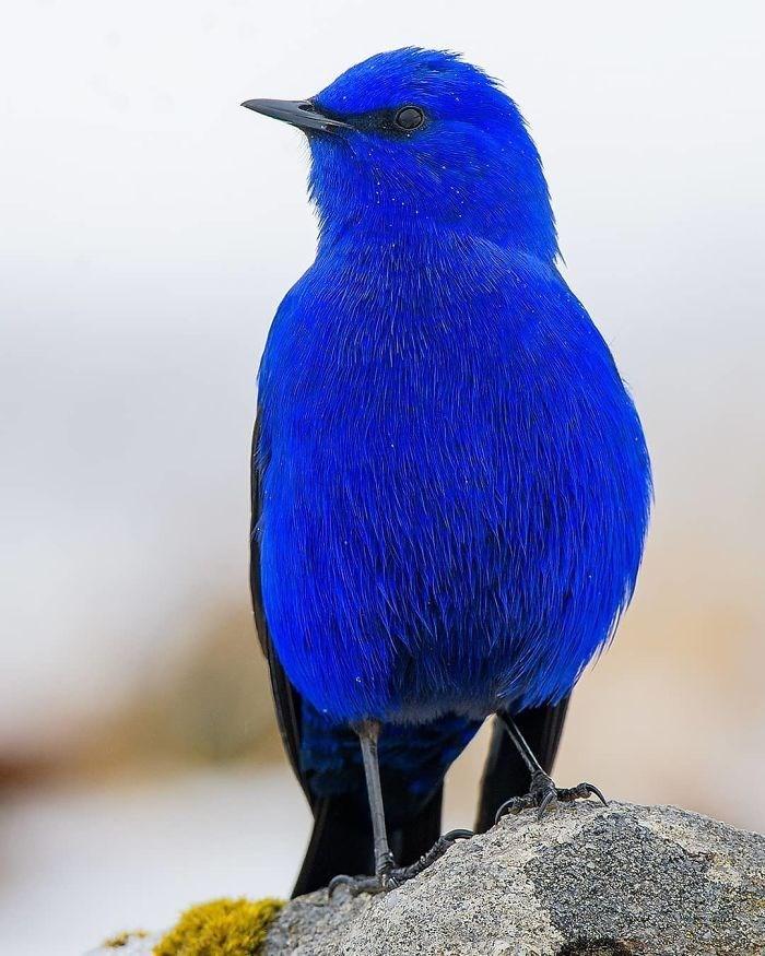 colourful bird photo grandala