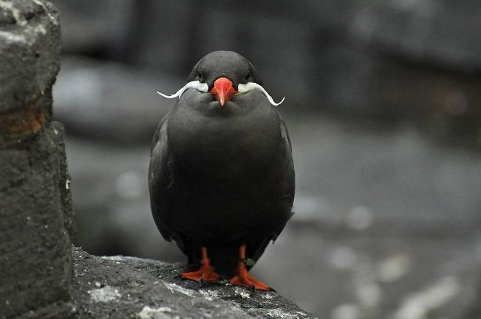 beautiful bird image inca tern