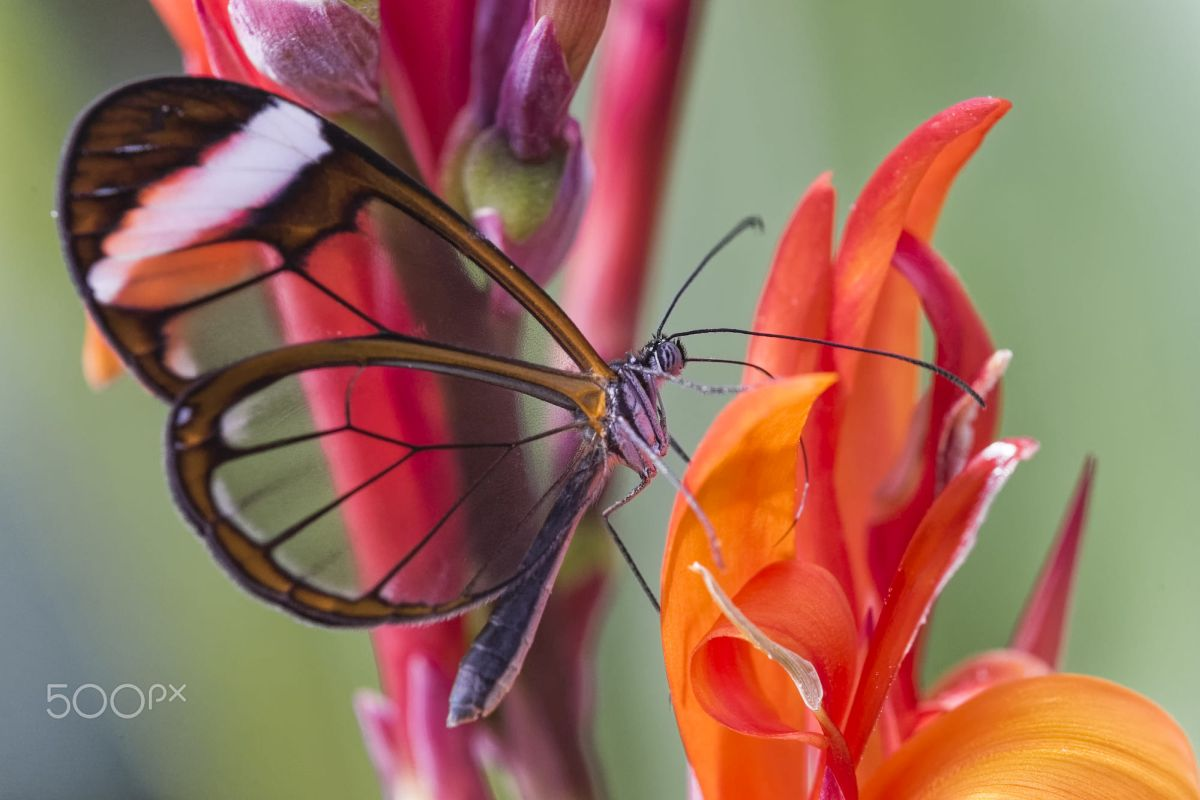 beautiful glass winged butterfly image emma gee