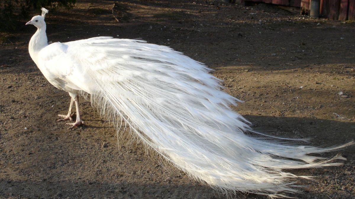 beautiful white peacock image