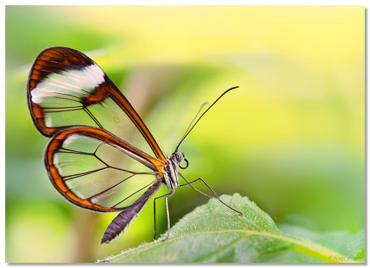 beautiful glass winged butterfly image lucy filippini