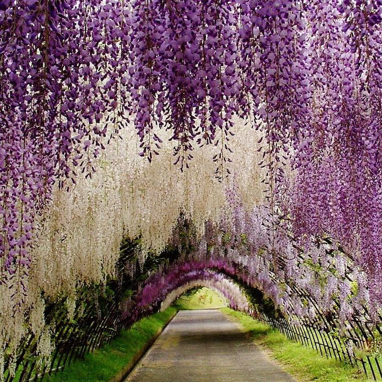 beautiful kawachi fuji garden tunnel japan itssaho