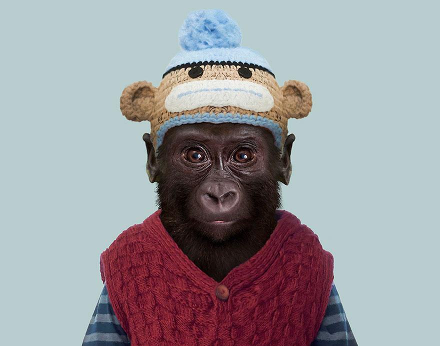 funny animal photo manipulation western lowland gorilla yago partal