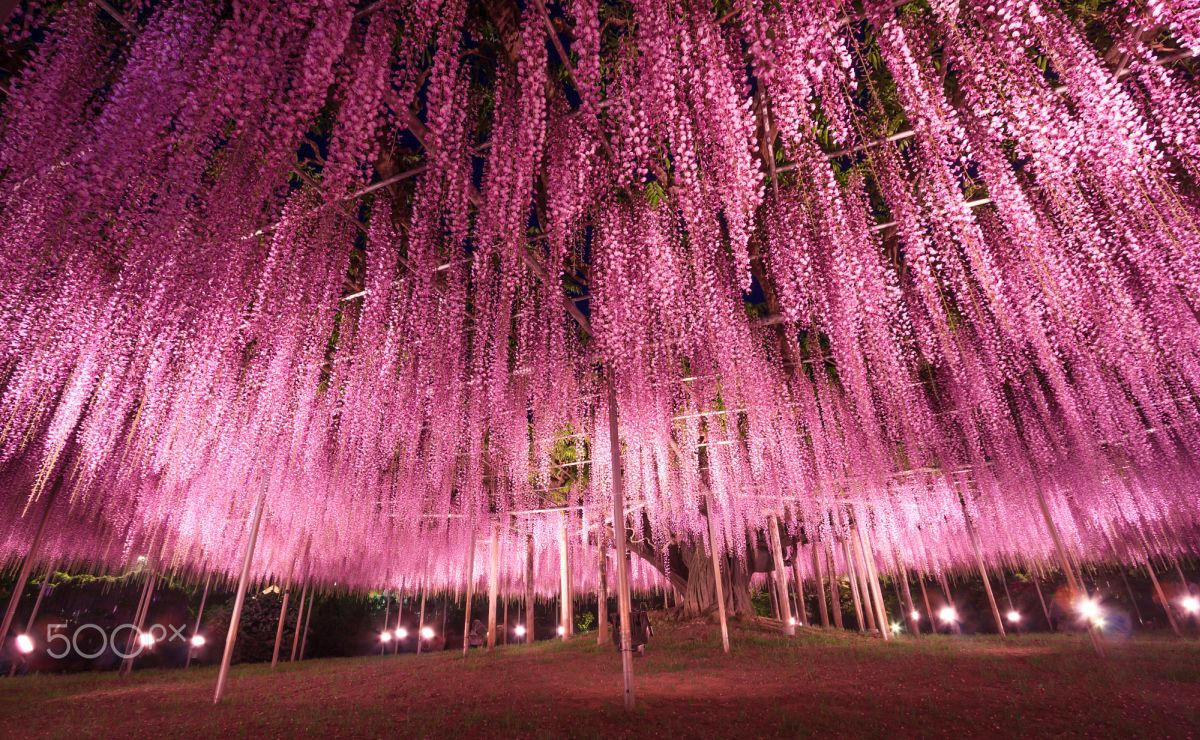 beautiful wisteria tree ashikaga flower park japan vichai phububphapan