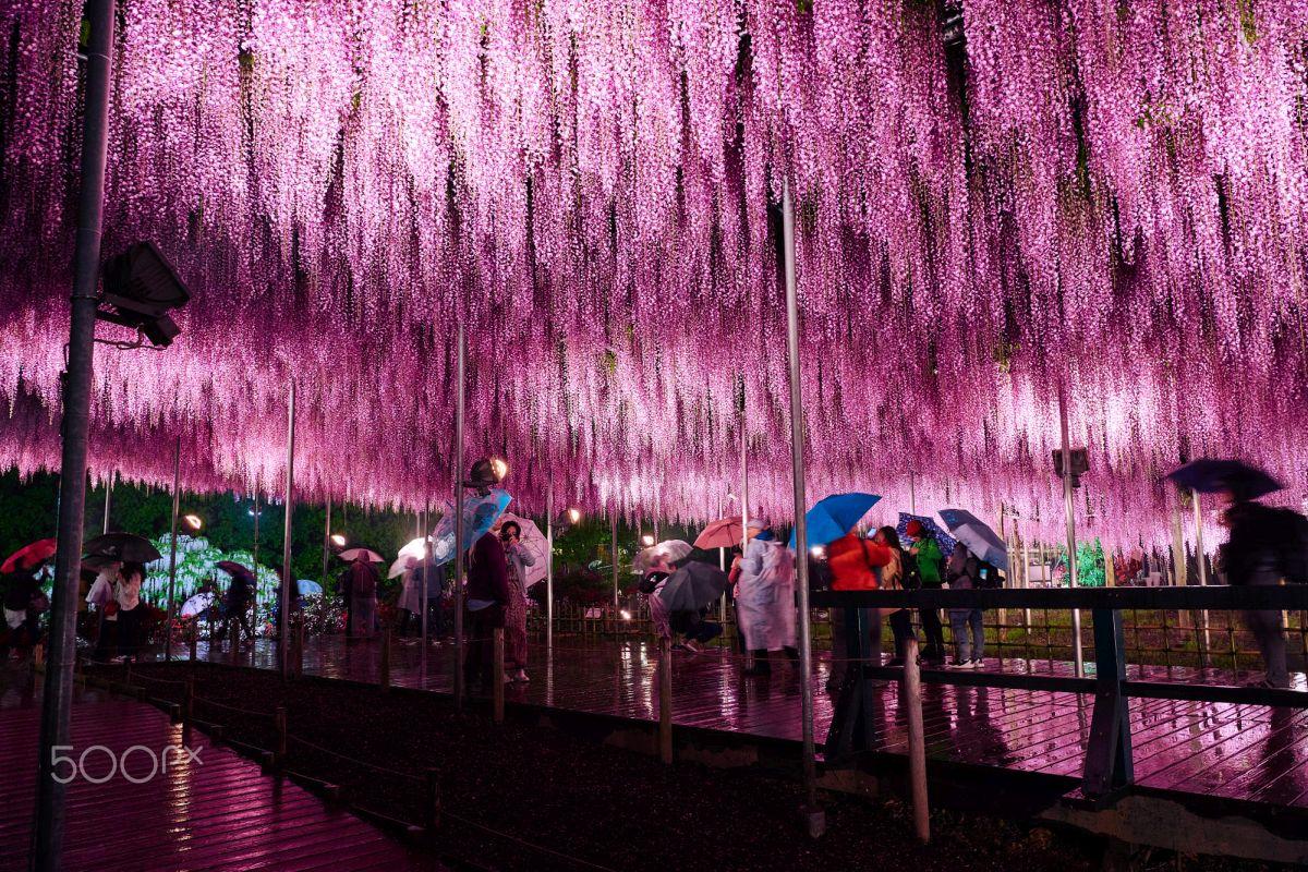 beautiful wisteria tree ashikaga flower park japan hiroyuki mizui