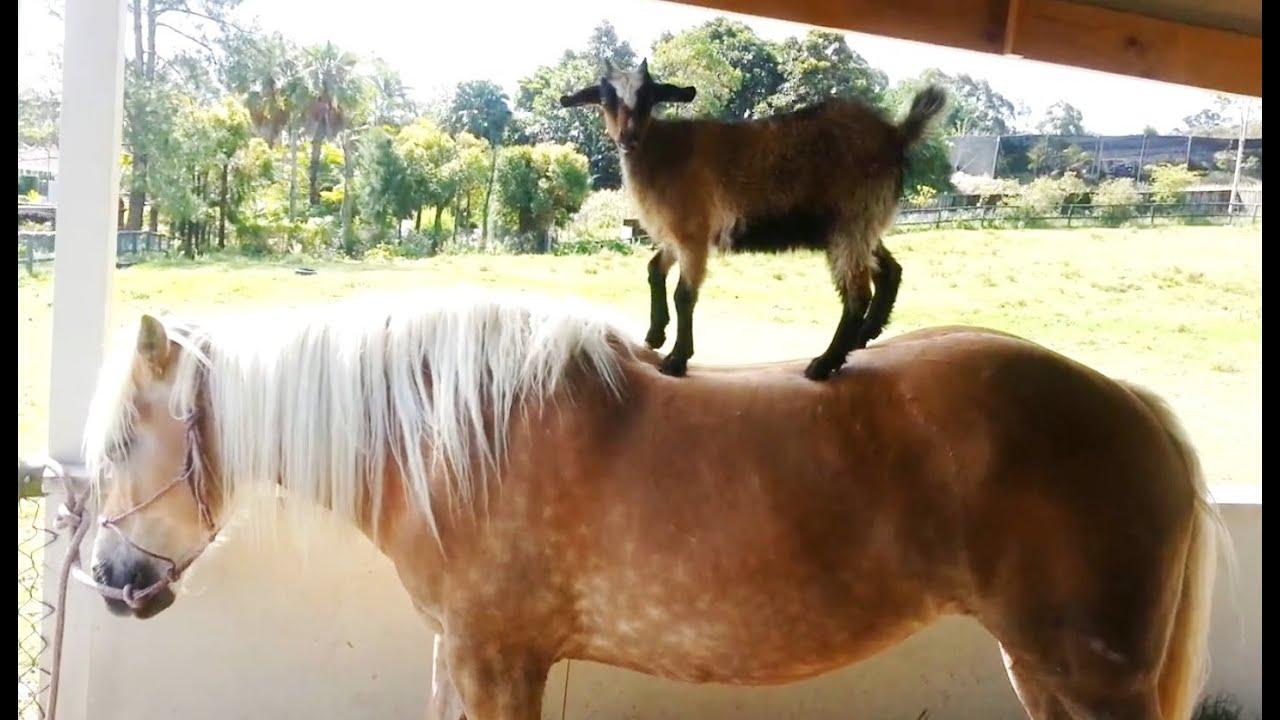 funny hitchhiking horse sheep photo