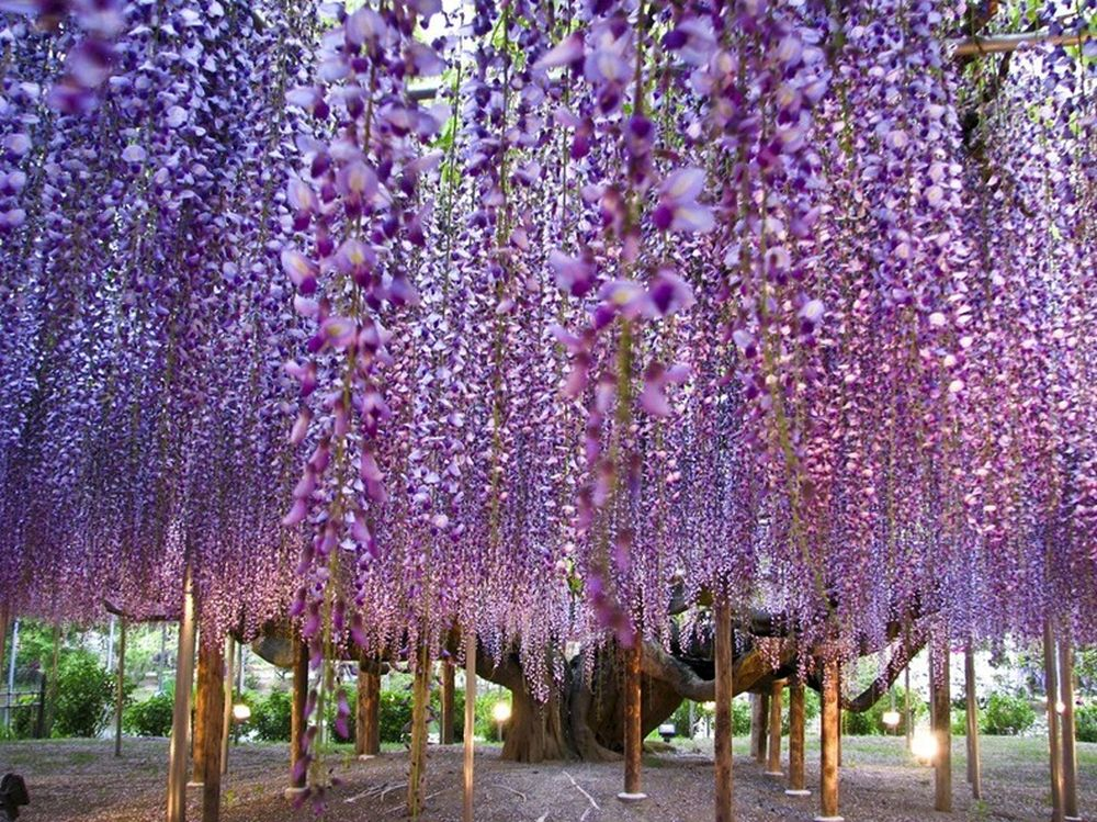 beautiful wisteria tree ashikaga flower park japan