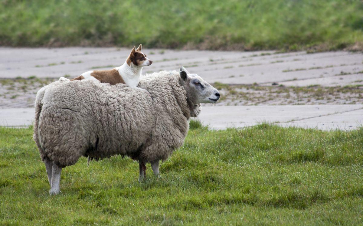 funny hitchhiking sheep dog photo