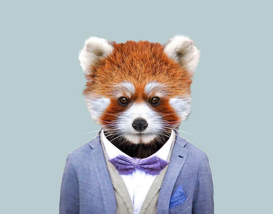 funny animal photo manipulation red panda yago partal