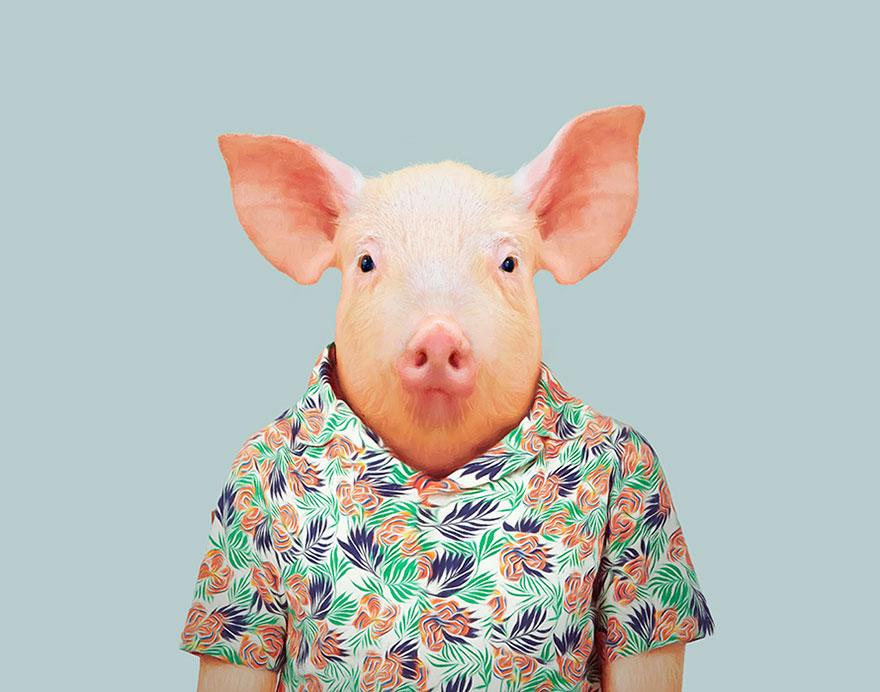 funny animal photo manipulation domestic pig yago partal