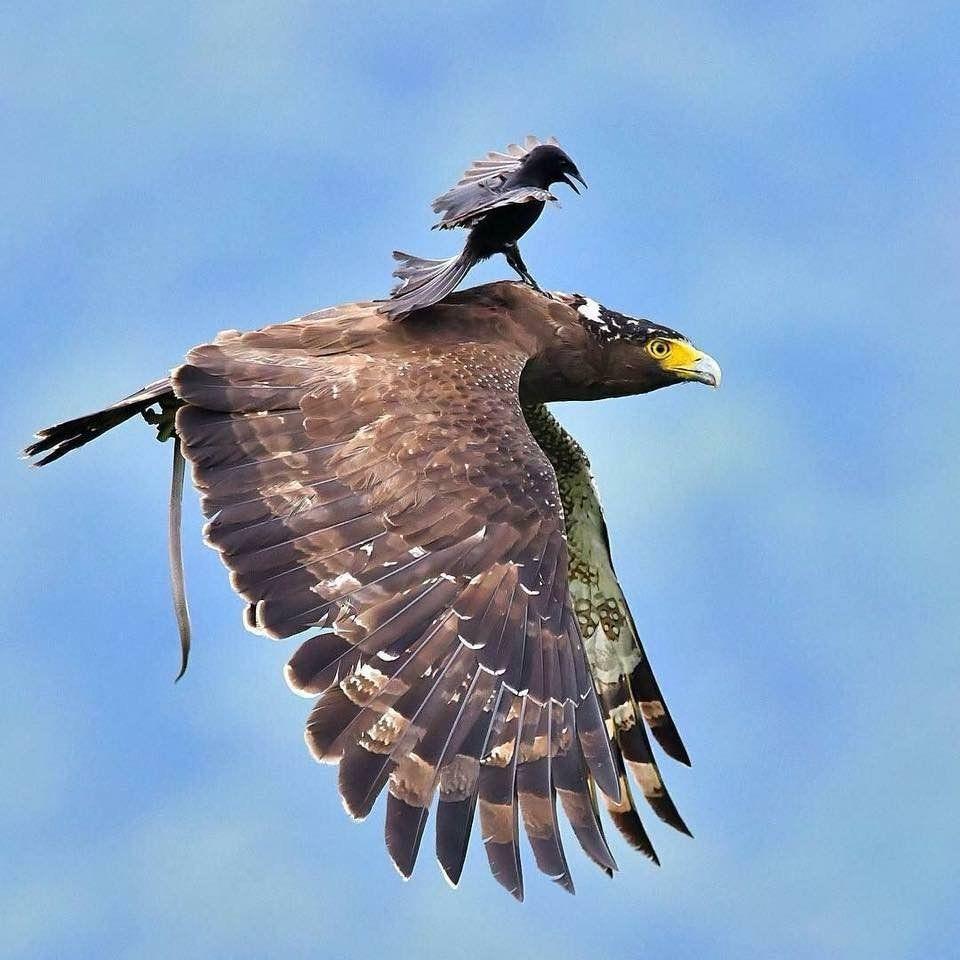 funny hitchhiking bird eagle photo