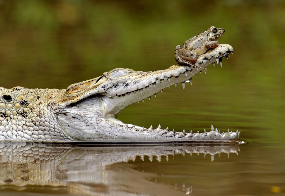 funny hitchhiking frog crocodile photo