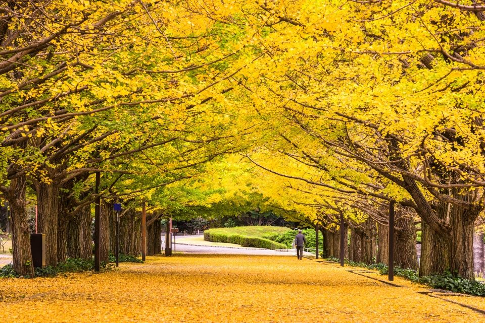 beautiful ginko alley tunnel japan sean pavone