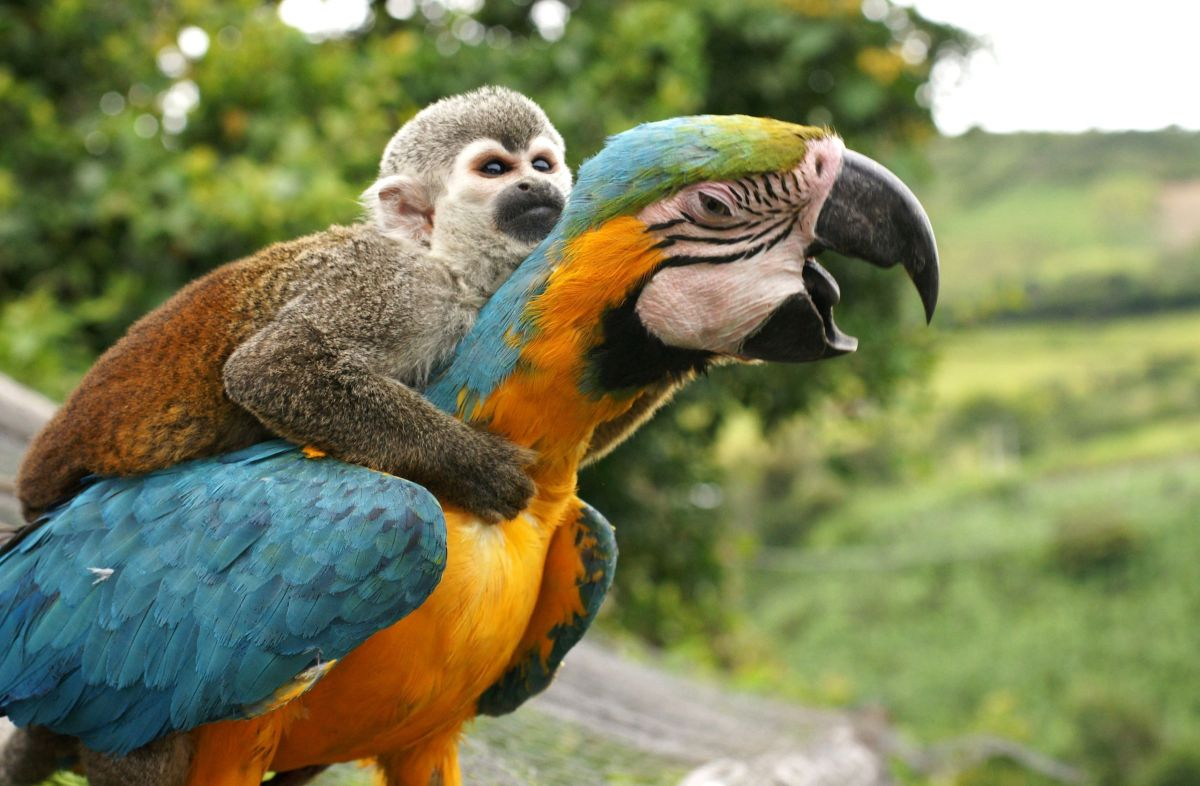 funny hitchhiking monkey parrot photo