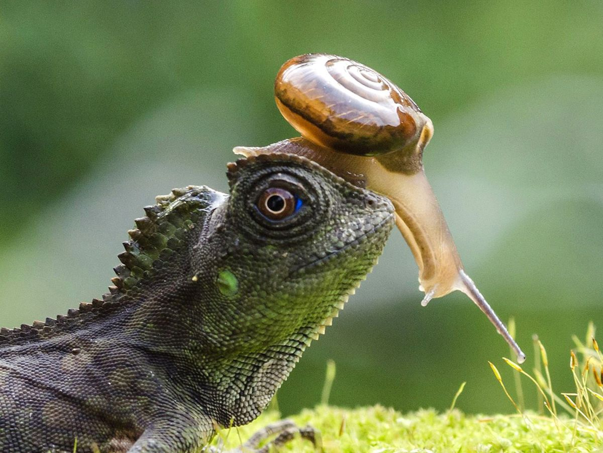 funny hitchhiking snail lizard photo