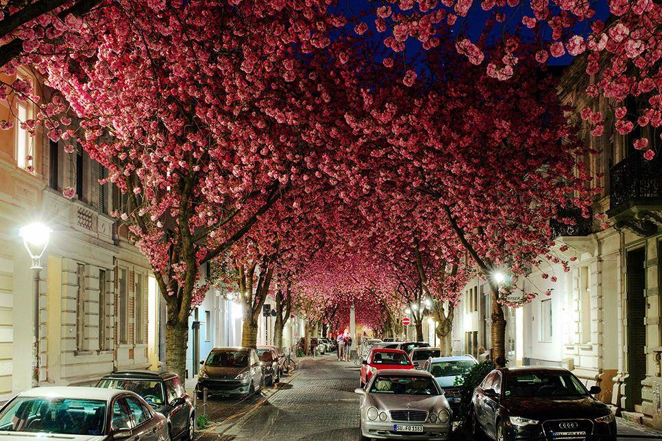 beautiful cherry blossom tunnel germany kapil juvale