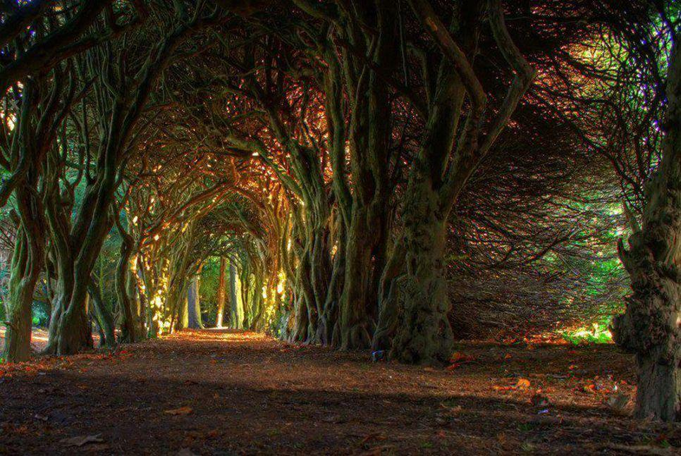 beautiful yew tree tunnel wales