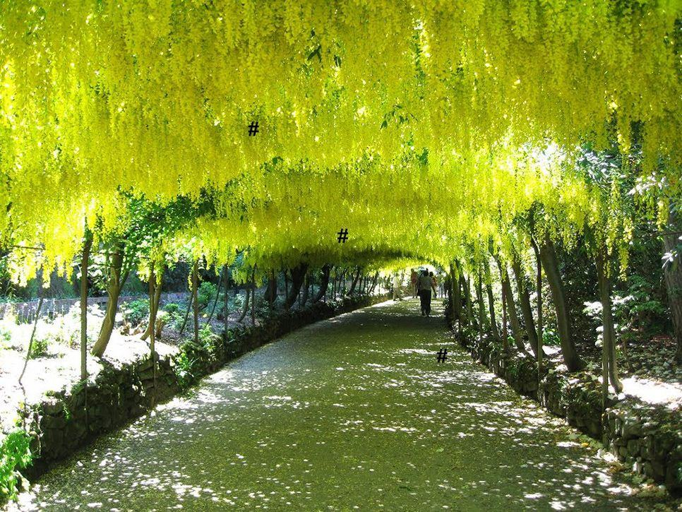 beautiful laburnum tunnel wales