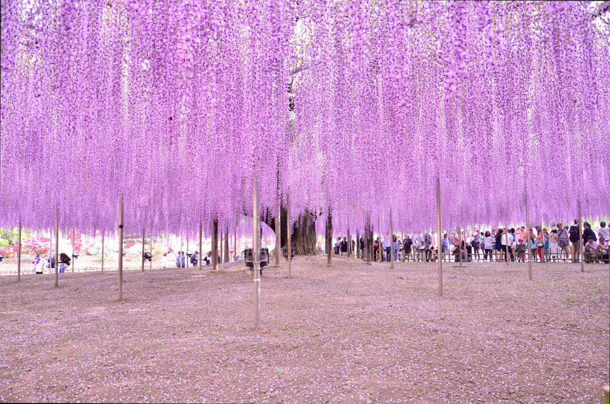 beautiful wisteria tree ashikaga flower park japan quan doan