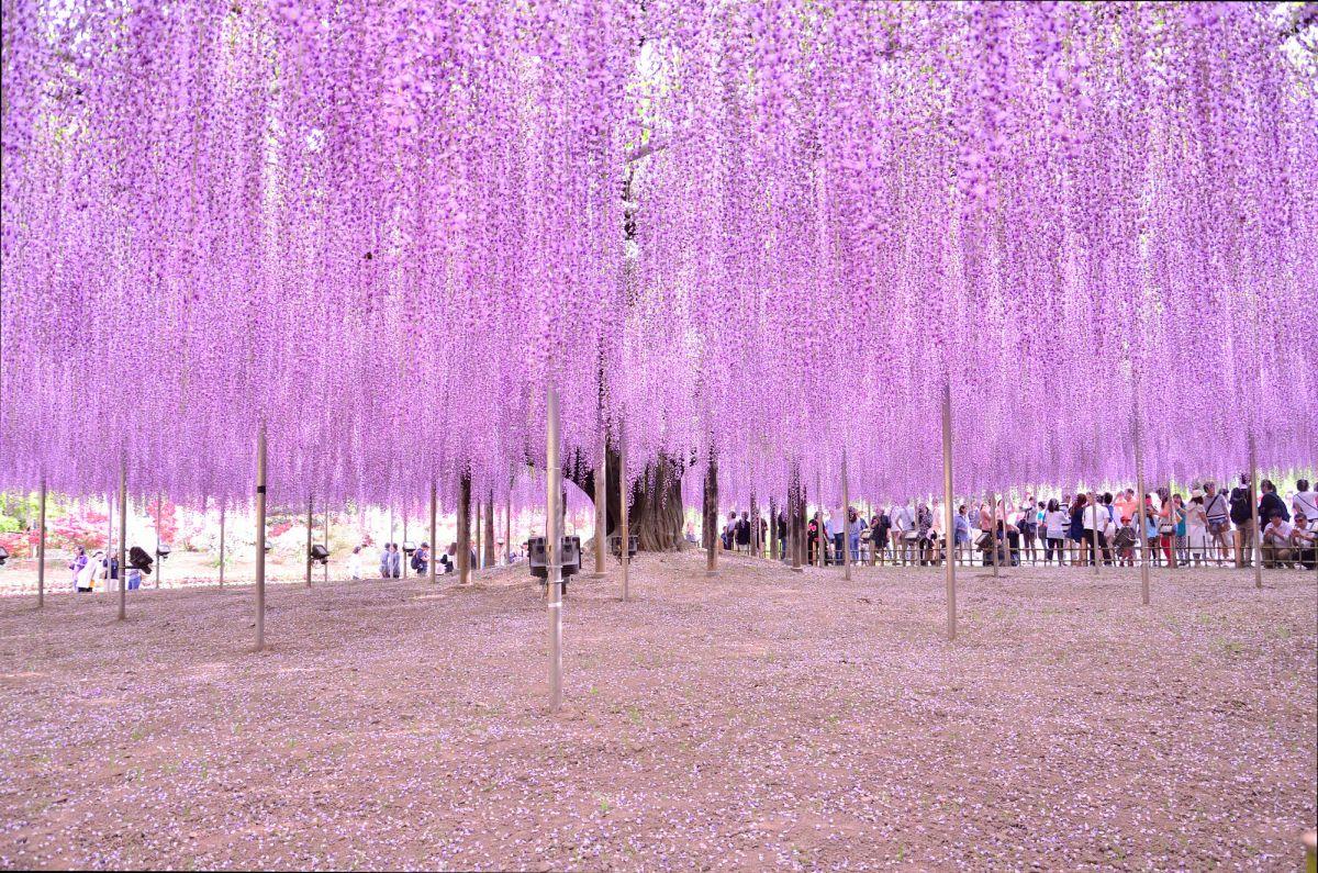 beautiful wisteria tree ashikaga flower park japan quan doan