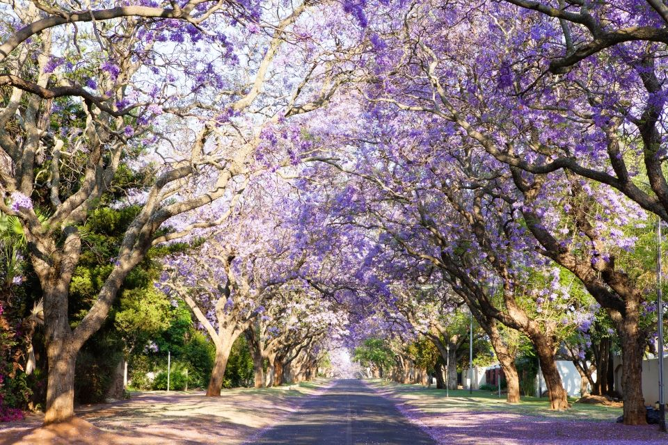 beautiful jacarandas alley garden tunnel south africa andre van der