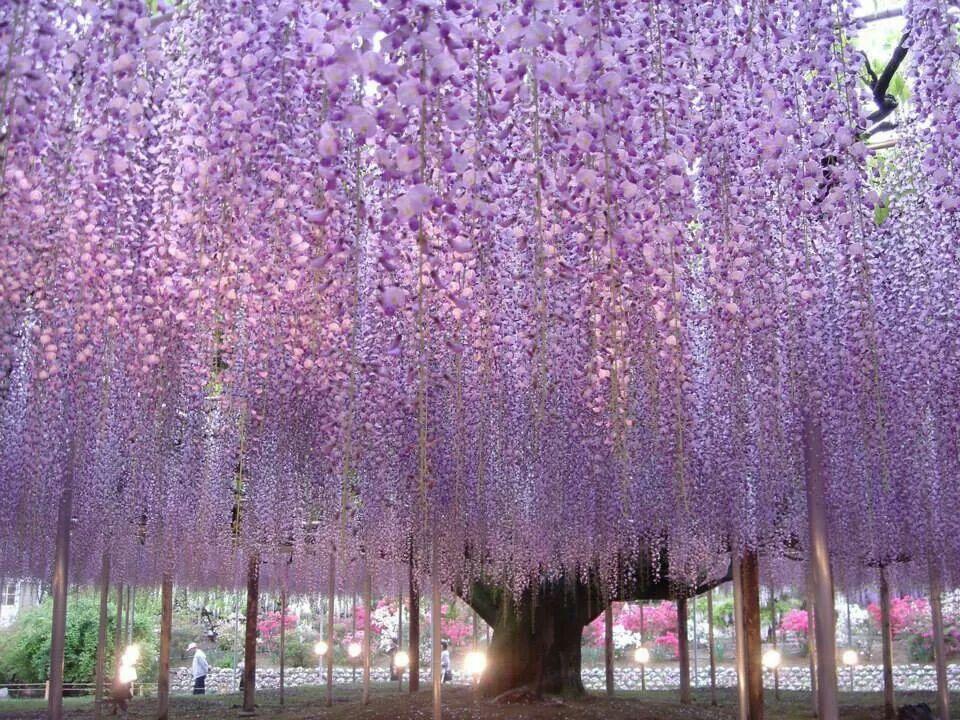 beautiful wisteria tree ashikaga flower park japan