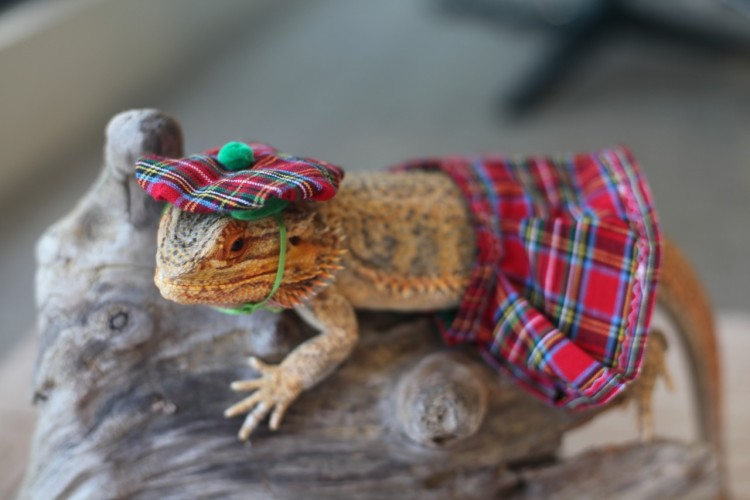 funny pet bearded dragon images sophie