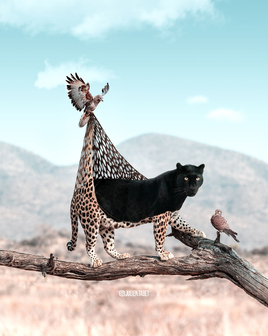 funny animal photoshop works cat julien tabet